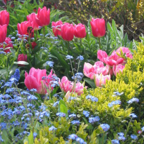 Spring planting in the front garden. Tulips and Forget Me Nots.