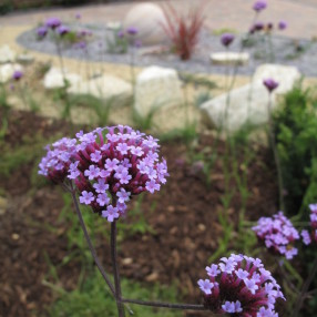 Verbena and grasses in the front garden