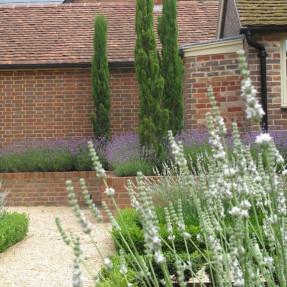 White Lavender in the Kitchen Garden